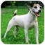 Photo 2 - Jack Russell Terrier Dog for adoption in Rhinebeck, New York - Zeke