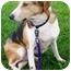 Photo 3 - Beagle Mix Dog for adoption in Osseo, Minnesota - Bosco