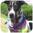 Photo 2 - Beagle/Foxhound Mix Dog for adoption in West Los Angeles, California - Anya
