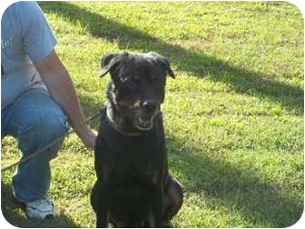 Rottweiler Mix Dog for adoption in Henderson, North Carolina - Randy(aka Remi)