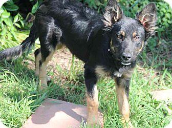 German Shepherd Dog/Australian Shepherd Mix Dog for adoption in Yuba City, California - Aires