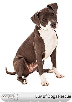 American Staffordshire Terrier Mix Puppy for adoption in Scottsdale, Arizona - Hannah