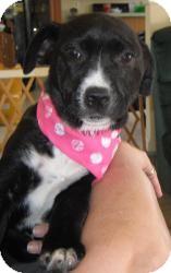 Labrador Retriever/Shepherd (Unknown Type) Mix Puppy for adoption in Marlton, New Jersey - Baby Mandy