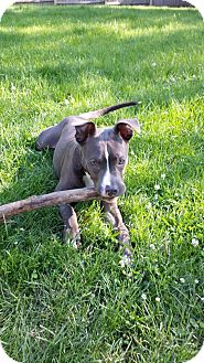 Pit Bull Terrier Mix Puppy for adoption in Wethersfield, Connecticut - Beau