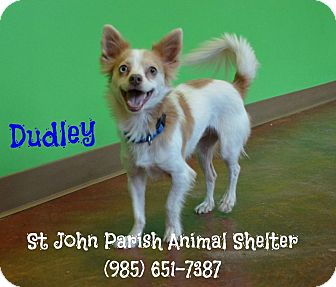 Papillon/Chihuahua Mix Dog for adoption in Laplace, Louisiana - Dudley