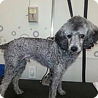 Adopt A Pet :: Giles - Broomfield, CO