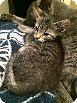 American Shorthair Kitten for adoption in San Marcos, Texas - Wisteria