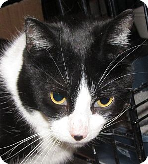 American Bobtail Cat for adoption in Walden, New York - Darla