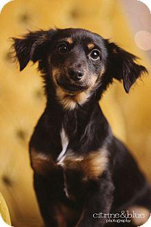 Spaniel (Unknown Type)/Dachshund Mix Puppy for adoption in Portland, Oregon - Josie
