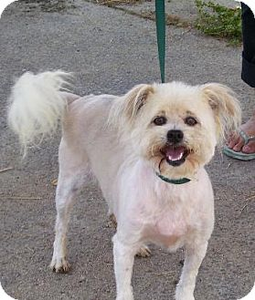 Shih Tzu/Cockapoo Mix Dog for adoption in Long Beach, California - Daquari