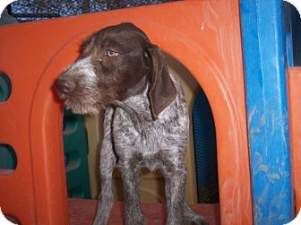 German Wirehaired Pointer Puppy for adoption in Phoenix, Arizona - Megan