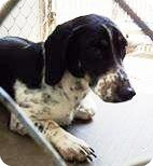 Basset Hound/Dachshund Mix Dog for adoption in Lincolnton, North Carolina - Scooby  Doo