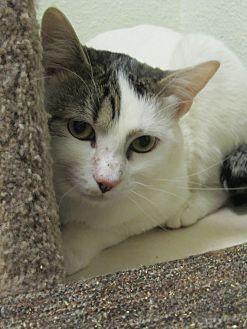 Domestic Shorthair Cat for adoption in Oakland, Oregon - Caesar