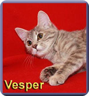 Domestic Shorthair Kitten for adoption in Aldie, Virginia - Vesper