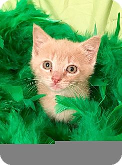Domestic Shorthair Kitten for adoption in Tampa, Florida - Sundance
