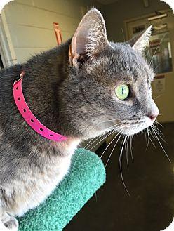 Domestic Shorthair Cat for adoption in Franklin, North Carolina - Peek a Boo