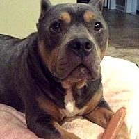 American Staffordshire Terrier/American Bulldog Mix Dog for adoption in Staten Island, New York - Legion