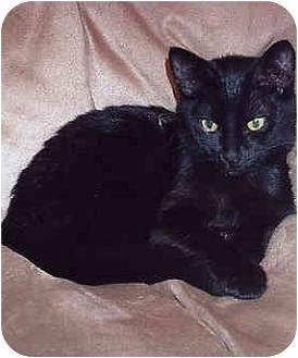 Domestic Shorthair Cat for adoption in Owatonna, Minnesota - Deuce