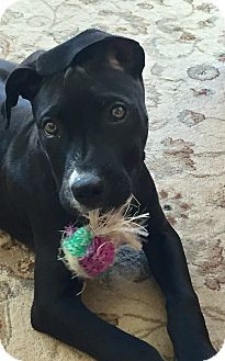 American Pit Bull Terrier Mix Puppy for adoption in Flushing, Michigan - Alastor