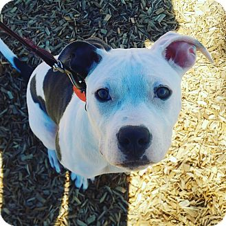 Pit Bull Terrier Mix Puppy for adoption in Baltimore, Maryland - Abigail
