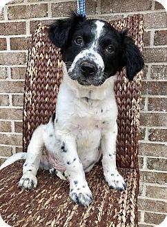 Border Collie/Labrador Retriever Mix Puppy for adoption in Staunton, Virginia - Ralph