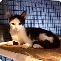 Domestic Shorthair Cat for adoption in Tampa, Florida - Walley