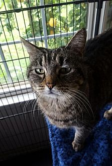 Domestic Shorthair Cat for adoption in Chico, California - MISS KITTY