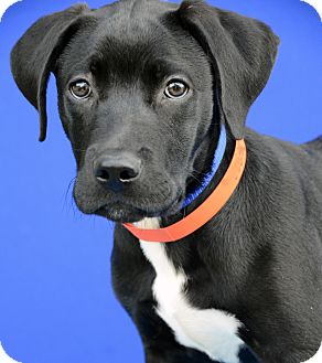Labrador Retriever Mix Puppy for adoption in LAFAYETTE, Louisiana - THIEF