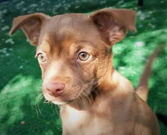 Terrier (Unknown Type, Medium)/Chihuahua Mix Puppy for adoption in San Antonio, Texas - Zeppelin