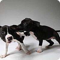 Adopt A Pet :: Sage (pittie 1/6) - New York, NY
