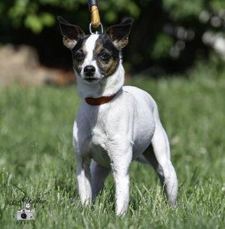 Terrier (Unknown Type, Small) Mix Dog for adoption in Ottumwa, Iowa - Rascal
