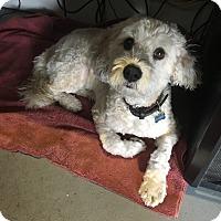 Lhasa Apso/Poodle (Miniature) Mix Dog for adoption in Placentia, California - Bandit