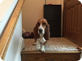 Basset Hound Dog for adoption in Columbia, Maryland - Tilly