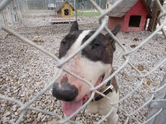 Bull Terrier Mix Dog for adoption in Circleville, Ohio - RAZOR