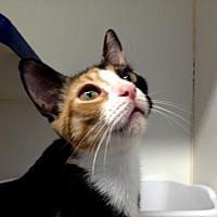 Adopt A Pet :: Cleopatra - Picayune, MS