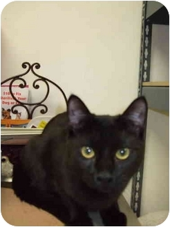 Domestic Shorthair Cat for adoption in Fort Lauderdale, Florida - Voodoo