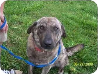 Dutch Shepherd/Catahoula Leopard Dog Mix Dog for adoption in Shelbyville, Kentucky - Bonnie