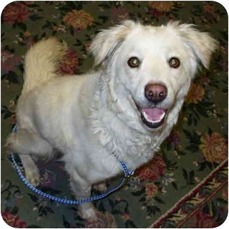 Spaniel (Unknown Type)/Collie Mix Dog for adoption in Sacramento, California - Dahlia!
