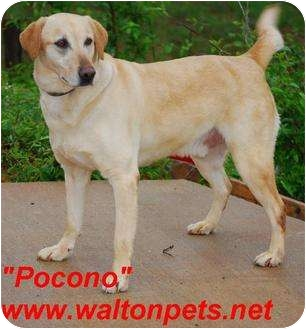 Labrador Retriever Mix Dog for adoption in Monroe, Georgia - Pocono
