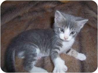 Russian Blue Kitten for adoption in Taylor Mill, Kentucky - Marley