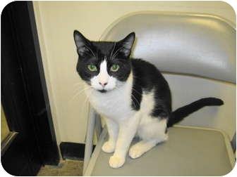 Domestic Shorthair Cat for adoption in Warminster, Pennsylvania - Domino