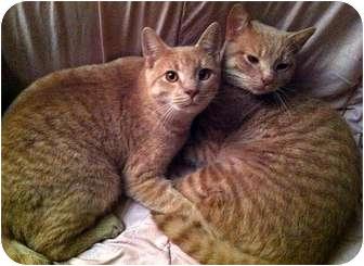 Domestic Mediumhair Cat for adoption in Alexandria, Virginia - Peanut & Mahoney