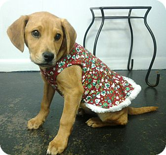 Labrador Retriever Mix Puppy for adoption in Lexington, Kentucky - June