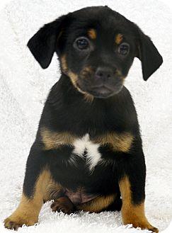 Cocker Spaniel/Chihuahua Mix Puppy for adoption in Bridgeton, Missouri - Mac
