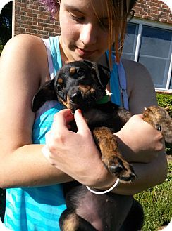 Doberman Pinscher Mix Puppy for adoption in South Jersey, New Jersey - Calypso