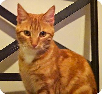 Domestic Shorthair Cat for adoption in Escondido, California - Kixi