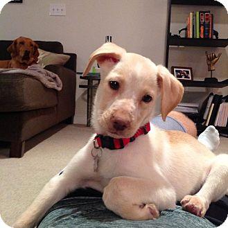 Labrador Retriever Mix Puppy for adoption in Cumming, Georgia - Macadamia