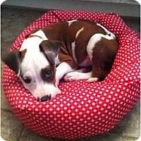 Adopt A Pet :: Dexter - Justin, TX