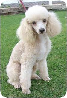 Poodle (Miniature) Dog for adoption in Nuevo, California - Barley