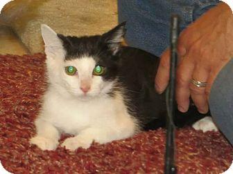 Domestic Shorthair Kitten for adoption in Edmond, Oklahoma - Zora
